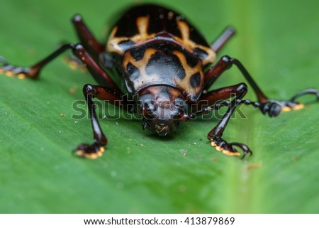 Fungus beetle , Macro of Fungus beetle , Close-up Fungus beetle , Macro shot of a  fungus beetle , Fungus beetle on leaf