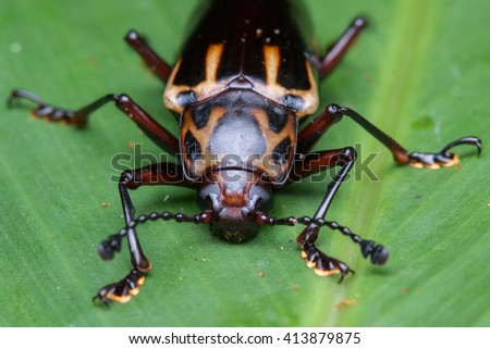 Fungus beetle , Macro of Fungus beetle , Close-up Fungus beetle , Macro shot of a  fungus beetle , Fungus beetle on leaf - stock photo