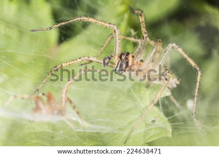 Funnel-web spider, Agelena labyrinthica with prey  - stock photo