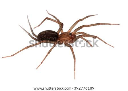 Funnel-web tarantula Linothele megatheloides isolated on white. - stock photo