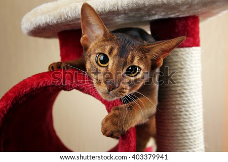 Funny abyssinian cat jumps out of cat house - stock photo