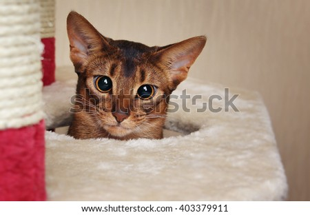 Funny abyssinian cat looks out of a hole in cat house - stock photo