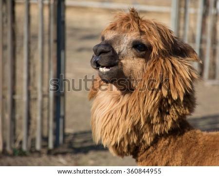 funny alpaca smile and teeth; llama close-up - stock photo
