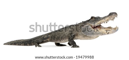 funny  American Alligator in front of a white background - stock photo