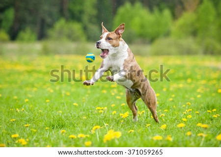 Funny american staffordshire terrier dog catching a ball  - stock photo