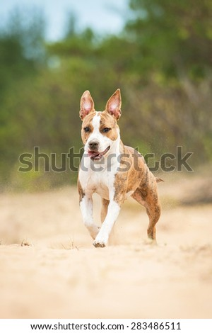 Funny american staffordshire terrier dog running - stock photo