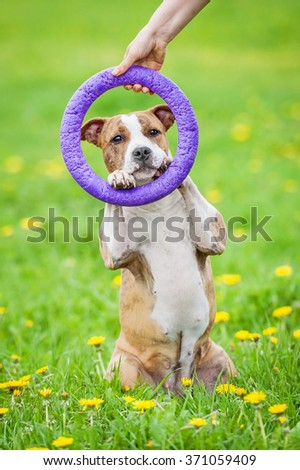 Funny american staffordshire terrier dog showing a trick with a ring - stock photo
