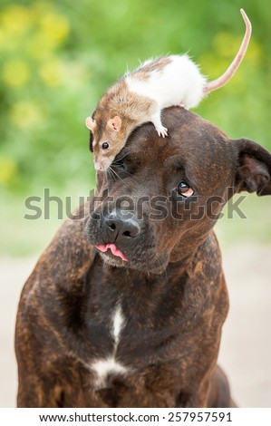 Funny american staffordshire terrier dog with a rat sitting on its head - stock photo