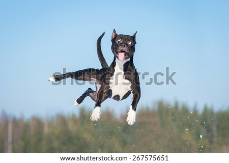 Funny american staffordshire terrier dog with crazy eyes flying in the air - stock photo