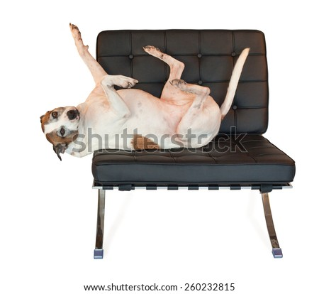 funny american staffordshire terrier pet pitbull dog with feet in the air  knows how to relax on her mid century modern black barcelona chair.   - stock photo