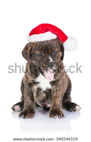 Funny american staffordshire terrier puppy dressed in a christmas hat yawning - stock photo