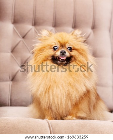 funny and fluffy pomeranian sitting on a chair