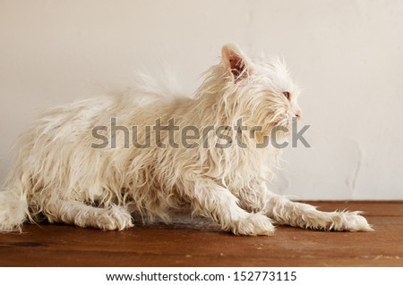 Funny and ugly wet Persian kitten after a bath - stock photo
