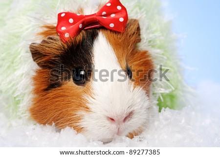 Funny Animals. Guinea pig Christmas portrait - stock photo