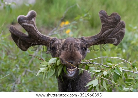 funny awkward moose eating branches - stock photo