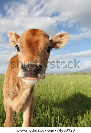 funny baby calf close-up in grassy meadow - stock photo