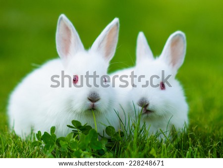 Funny baby white rabbit eating clover in grass - stock photo
