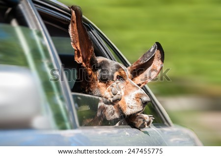 Funny basset hound driving in a car - stock photo
