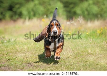 Funny basset hound running in summer - stock photo