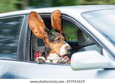 Funny basset hound with ears up driving in a car - stock photo