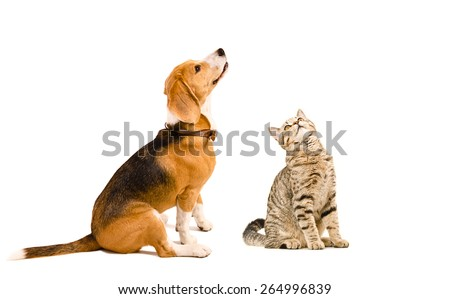 Funny beagle dog and a cat Scottish Straight sitting together isolated on white background - stock photo