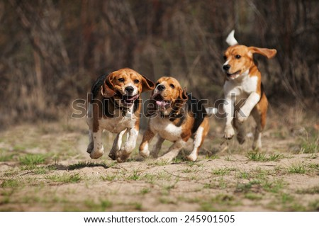 funny beagle dogs running together in spring