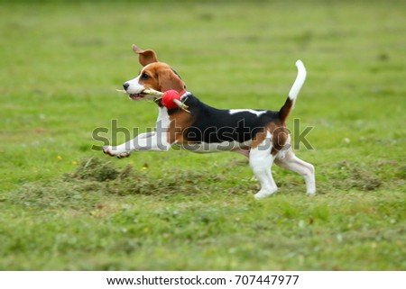 Must see Toy Beagle Adorable Dog - stock-photo-funny-beagle-puppy-play-with-toy-in-park-cute-dog-with-flying-ears-jump-on-field-with-red-ball-on-707447977  Pic_607450  .jpg