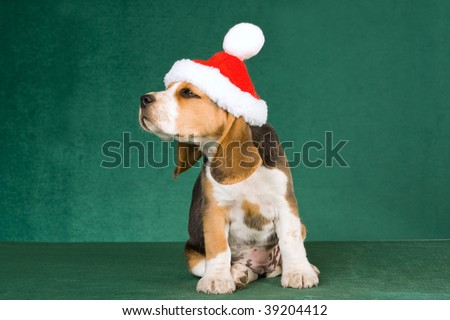 Funny Beagle puppy with Santa hat, on green background