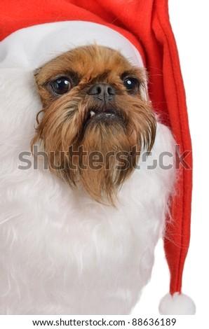 Funny bearded Santa dog of griffon breed - stock photo