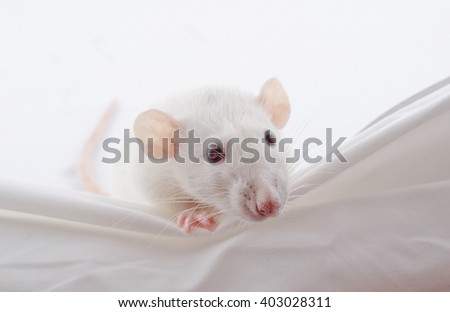 Funny big-eared white rat peeping over the edge (selective focus on the nose and whiskers) - stock photo