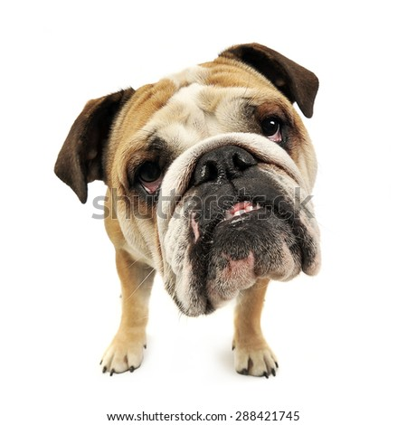 funny big head bulldog portrait in a white studio