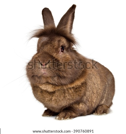 Funny big head chocolate colored lionhead rabbit, isolated on white background - stock photo