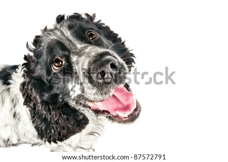 Funny black and white english cocker spaniel looking up - stock photo