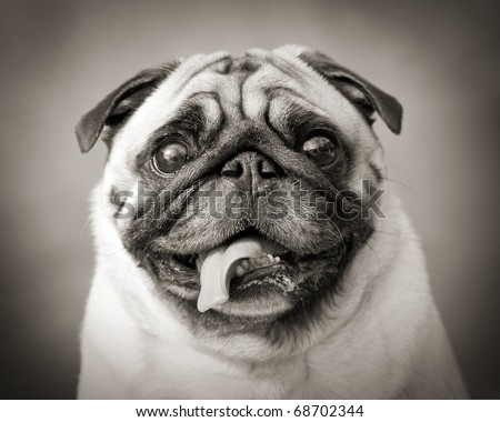funny black and white photo of a little Pug dog - stock photo