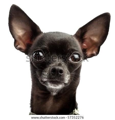 funny black chihuahua - stock photo