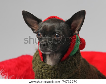 funny black chihuahua pet dog wearing Christmas hat closeup - stock photo