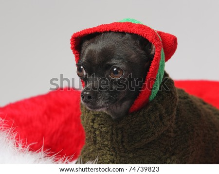 funny black chihuahua wearing a knit cap and sweater - stock photo