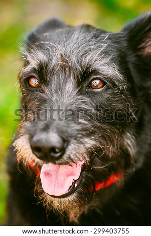 Funny Black Dog Close Up Portrait On Green Grass Background - stock photo