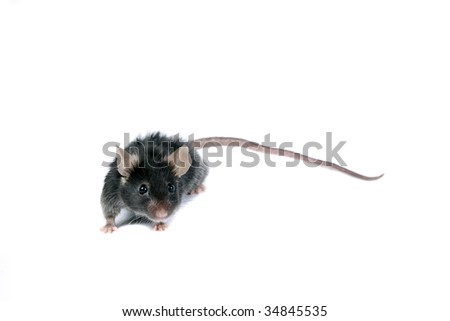 Funny black mouse isolated on white. - stock photo