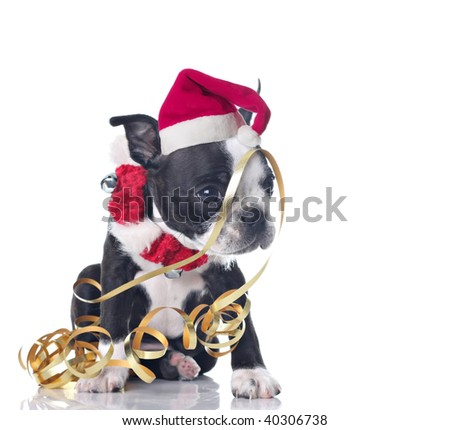 Funny Boston Terrier puppy dressed up for Christmas and tangled up in ribbon. - stock photo
