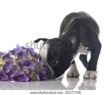 Funny Boston Terrier puppy sniffing flowers. - stock photo