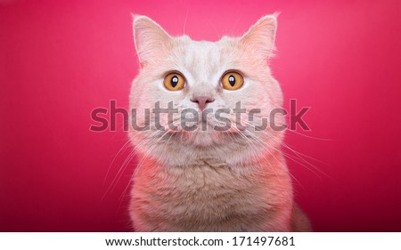 Funny british cat is isolated on a purple background. - stock photo