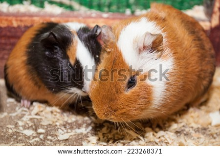 funny brown cavy in sawdust - stock photo