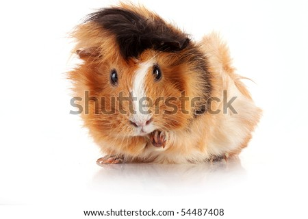 funny brown cavy on white background - stock photo