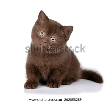 Funny brown kitten on a white background