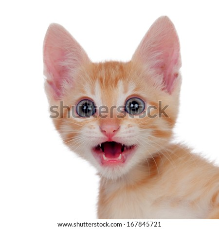 Funny brown kitty meowing isolated on a white background - stock photo
