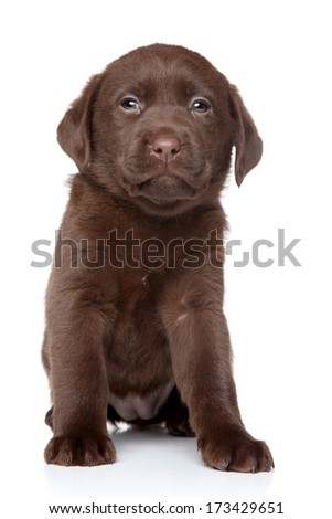 Funny Brown Labrador puppy posing on a white background