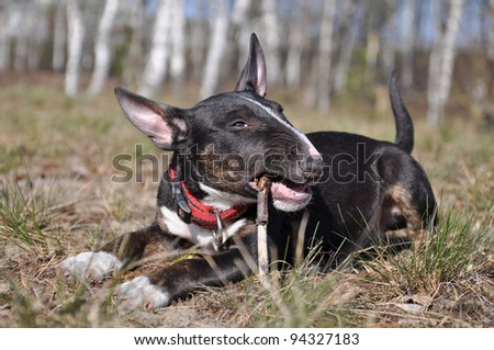funny bull terrier puppy chewing a stick - stock photo