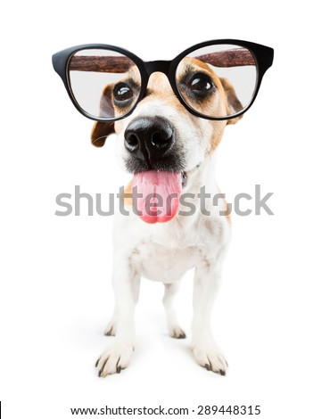 funny bully teased dog with glasses showing tongue - stock photo