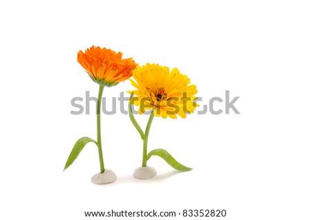 Funny Calendula Flowers Isolated on White Background - stock photo